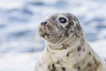 Phoques - rencontre spéciale avec un jeune phoque commun - IJmuiden sur Servan Ott
