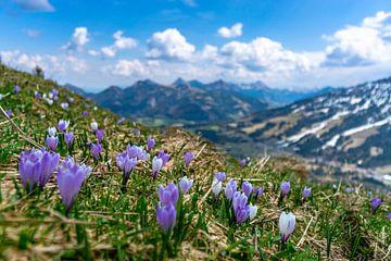 Kleine krokusweide boven Oberjoch op een lentedag in de Allgäuer Alpen van Leo Schindzielorz