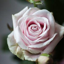 Roze Roos met knop von Maxpix, creatieve fotografie