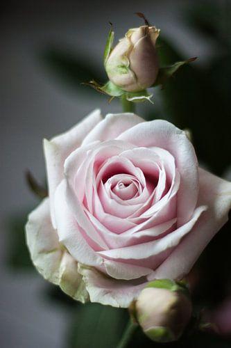 Roze Roos met knop
