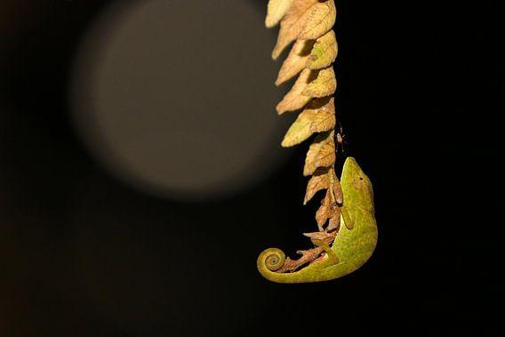 Chameleon by night van Antwan Janssen