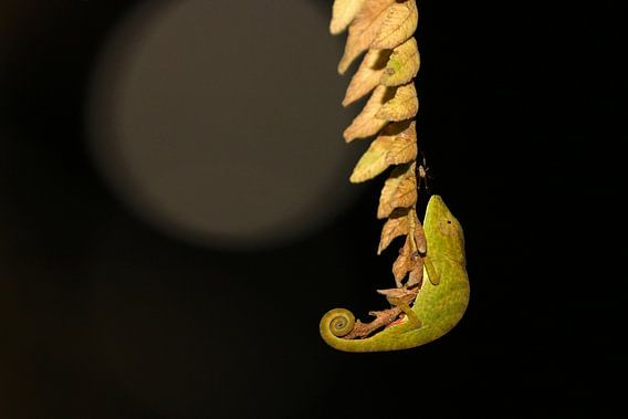 Chameleon by night