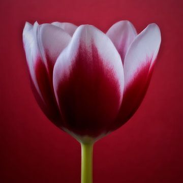 Rode kunst bloemen tulpen foto winkel print shop online art van
