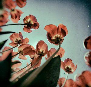 Vintage Tulip sur