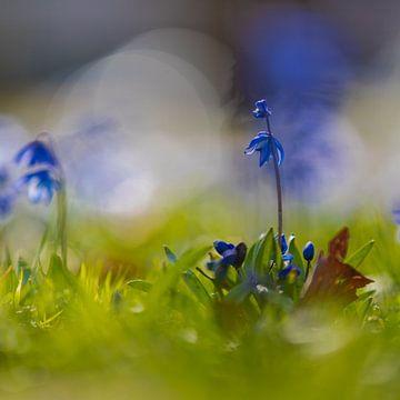 Zwergiris (Iris reticulata) mit Bokeh-Hintergrund im zeitigen Frühjahr von Kim Willems