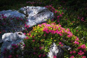 Alpenroosjes door de zon beschenen