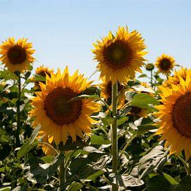 Zonnebloemen van Studio  Milaan