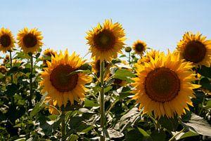 Zonnebloemen van