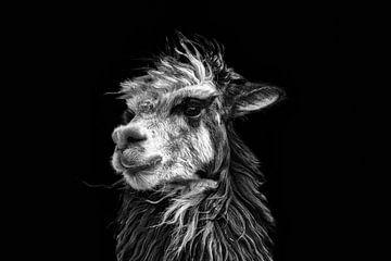 Schwarz-Weiß-Bild eines peruanischen Lamas vor schwarzem Hintergrund. Wout Cook One2expose von Wout Kok
