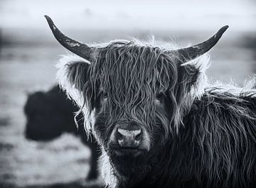 Highlander en noir et blanc sur natascha verbij