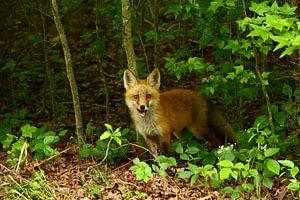 Junger Rotfuchs  - Little Red Fox
