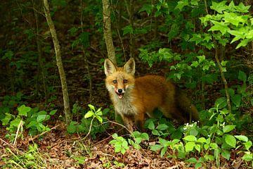 Junger Rotfuchs  - Little Red Fox von Christiane Schulze