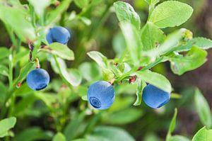 Blauwe bosbessen in Zweeds bos van