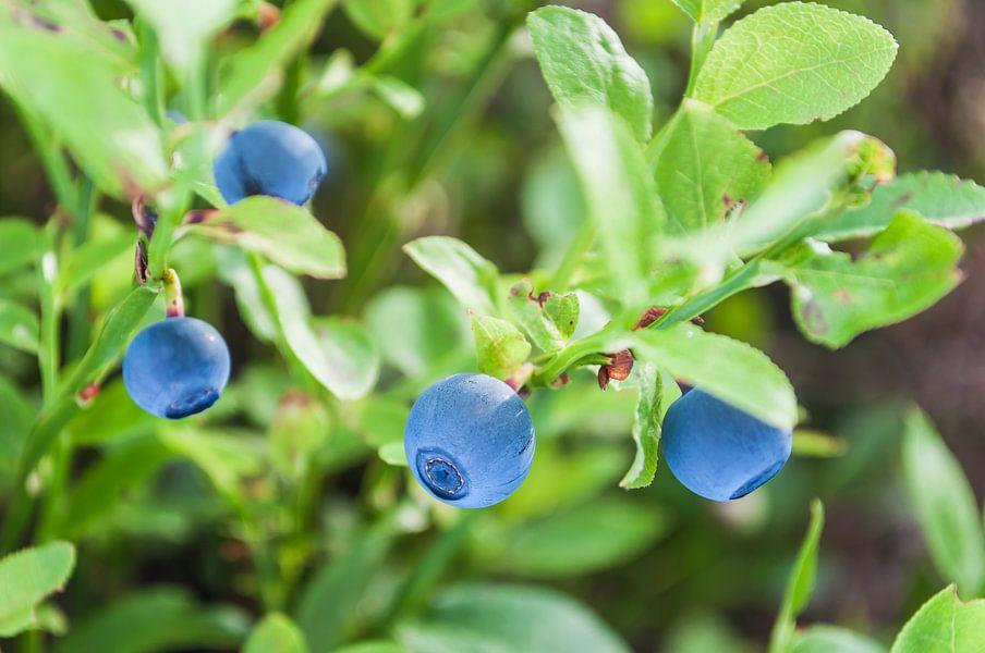 Blauwe bosbessen in Zweeds bos van Wijnand Loven