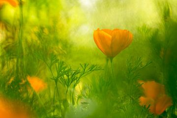Eschscholzia californica (Mohnblumen) von Birgitte Bergman