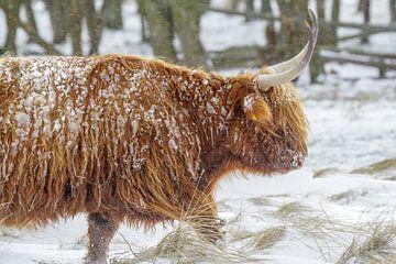 Schotse hooglander in de sneeuw van Dirk van Egmond