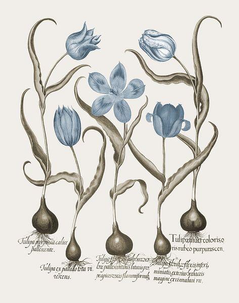 Basilius Besler-Späte weiße Tulpe frühe reiche rote Tulpe et al. von finemasterpiece