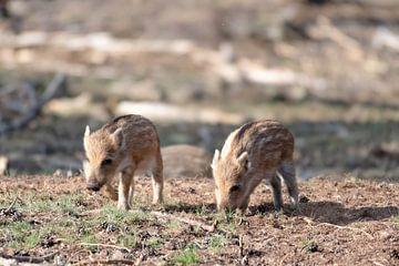 junge Wildschweine von Merijn Loch