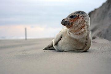 Zeehond op strand Texel van Ronald Timmer