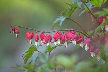 Gebroken hartje (Lamprocapnos spectabilis) - Bleeding heart flower