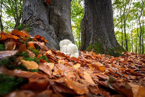 Pruikzwam in het herfstig bos