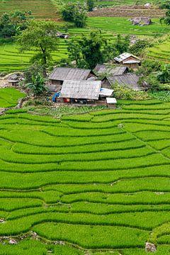Reisfelder in Vietnam von Richard van der Woude