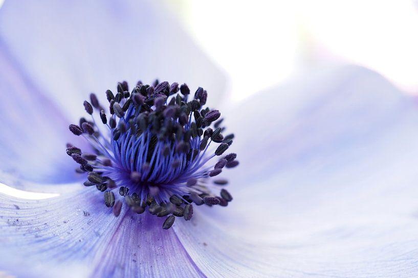"""Close-up van een Anemone Coronaria """"Mr Fokker"""" .  von Astrid Brouwers"""