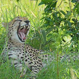 Gapende Cheetah van Peter Zwitser