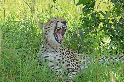 Gapende Cheetah van