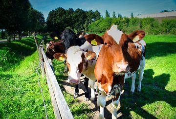 Vrolijke nieuwsgierige koeien in het weiland van Anja Oosterwaal
