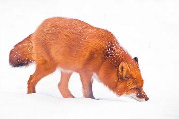 Snuift de sneeuw en zoekt). Mooie rode pluizige vos in de sneeuw tijdens een sneeuwval Isolated, wit van Michael Semenov
