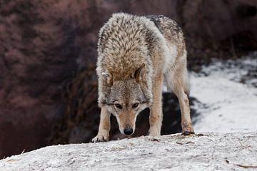 Een mooie en sterke vrouwelijke wolf staat met zijn hoofd naar beneden en snuift de grond op (wolfst van Michael Semenov