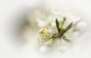 Fleur blanche sur Jacqueline Gerhardt