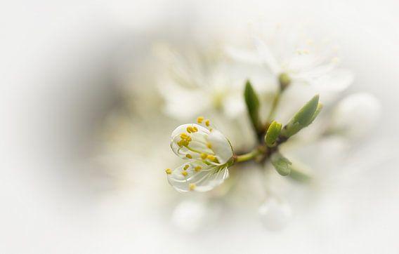 Witte bloesem van Jacqueline Gerhardt