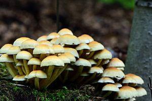 Veel paddenstoeltjes