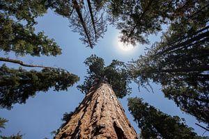 Sequoia Boom / Mammoetboom  van André Thierry
