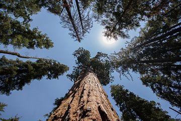 Sequoia Boom / Mammoetboom  sur