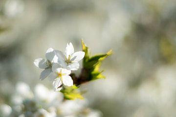 Het bloeit stralend in de zon. van As Janson