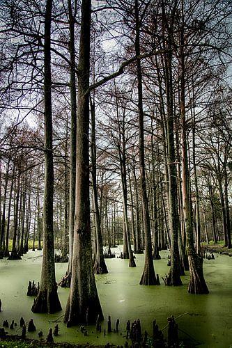 Cypress Swamp, USA
