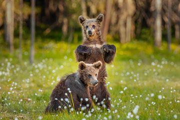 Braunbär (Ursus arctos) von Chris Stenger