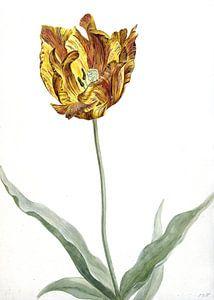 Tulp rond 1700