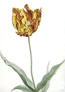 Tulpe, anonymer Künstler um 1700 von