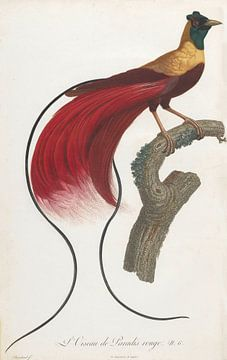 Rode Paradijsvogel (Paradisaea rubra), François Le Vaillant van Teylers Museum