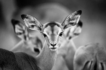 Trio Impala von YvePhotography