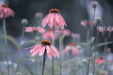Pastell-Echinacea von Tania Perneel