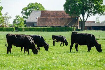 Grazende koeien in een weiland van Robert de Jong