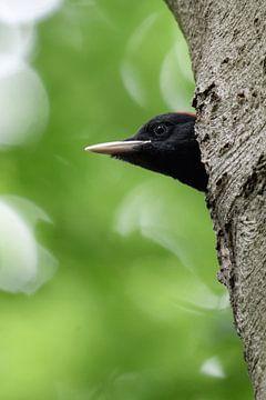 Schwarzspecht ( Dryocopus martius ) Jungvogel schaut aus der Bruthöhle, wildlife, Europe. von wunderbare Erde