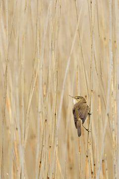 Sedge Warbler *  Acrocephalus schoenobaenus * in a reedbed van wunderbare Erde