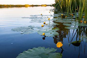 Auf Augenhöhe mit den Wasserblumen und ihren Spiegelungen von Marieke_van_Tienhoven