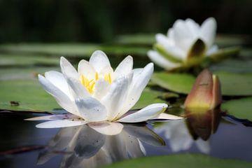 Die weiße Seerose von Dennis van de Water